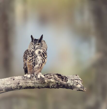 horned: Great Horned Owl Perches on a Branch
