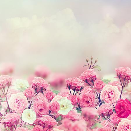 핑크와 화이트 장미 꽃