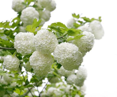 Spring Blooming of Snowball Bush Reklamní fotografie