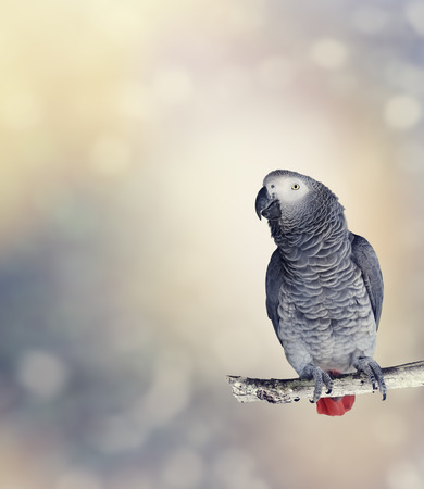 african grey parrot: African Grey Parrot Perches On A Branch
