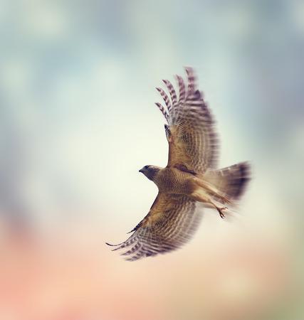 shouldered: Red Shouldered Hawk In Flight Stock Photo
