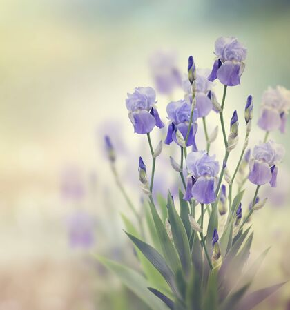 Purple Iris Flowers Blooming In The Garden