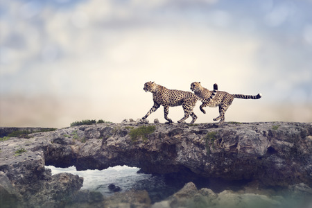 Two Cheetahs Running On A Top Of Rock Reklamní fotografie - 41221519