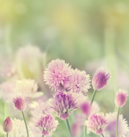 cebollin: Cebollino (Allium schoenoprasum) en Spring