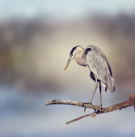 great blue heron: Great Blue Heron Perches On A Branch Stock Photo