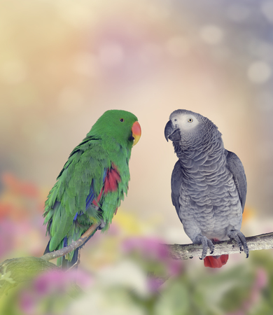 african grey parrot: African Grey Parrot and Green Parakeet Perching
