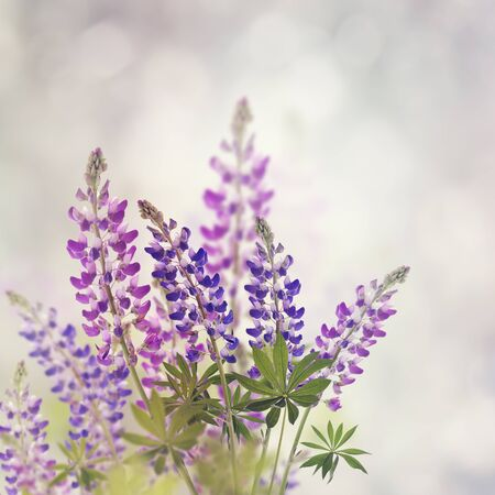 lupine: Pink And Purple Lupine Flowers Bloom