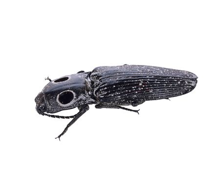 click beetle: Eyed Click Beetle, Isolated On White Background