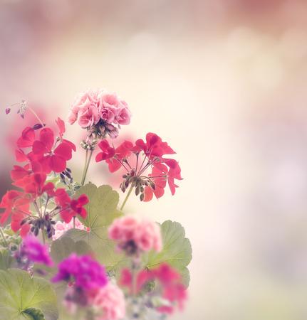 geranium: Red And Pink Geranium Flowers Stock Photo