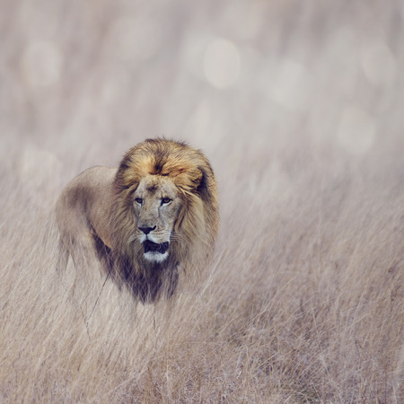 male animal: Male Lion Walking In The Grass