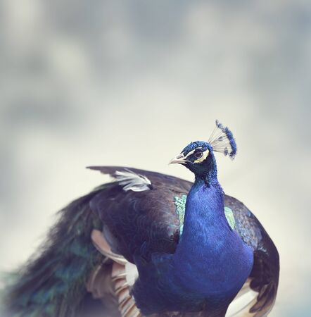 peafowl: Close-up of Male Indian Peafowl Stock Photo