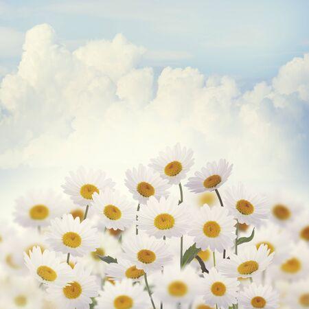 white daisies: White Daisies Against the Sky Stock Photo