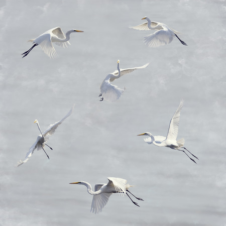 egrets: Digital Painting Of Great White Egrets In Flight