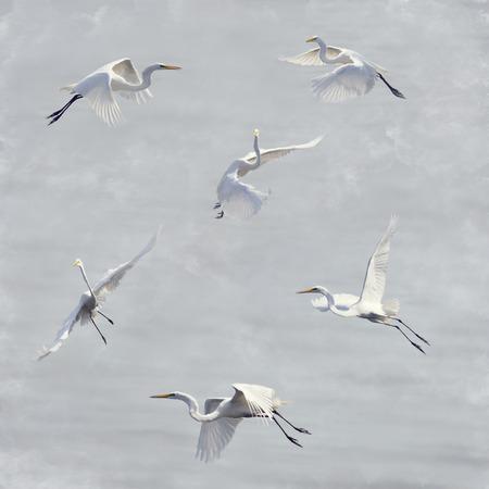 egret: Digital Painting Of Great White Egrets In Flight
