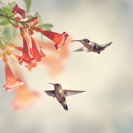Ruby Throated Hummingbirds Hover Over Trumpet Vine Stockfoto