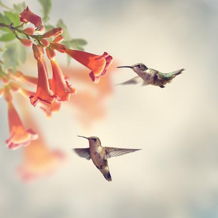 Ruby Throated Hummingbirds Hover Over Trumpet Vine Foto de archivo