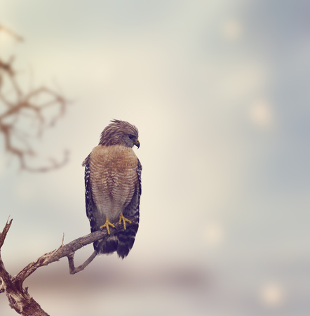 shouldered: Red Shouldered Hawk Perches on a Log Stock Photo