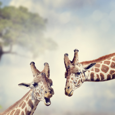 giraffe: Picture of Two Adult Giraffes Stock Photo