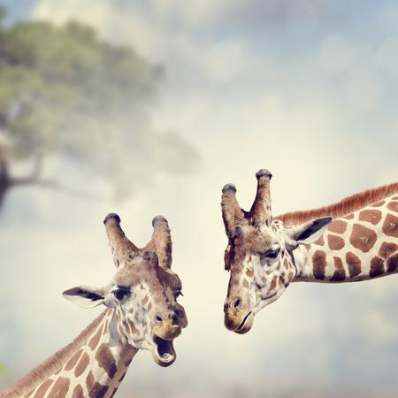 animal head giraffe: Picture of Two Adult Giraffes Stock Photo