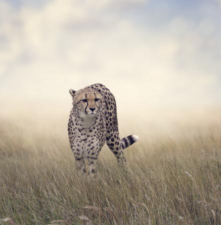 guepardo: Caminar Guepardo en El Prado