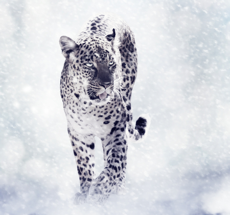 snow leopard: Digital Painting Of Leopard Walkind in the Snow