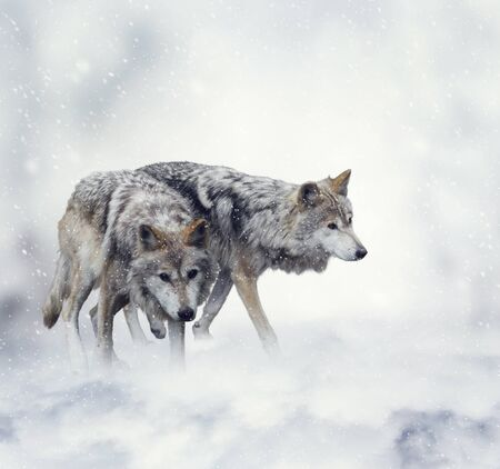 two: Two Wolves Walking in the Snow