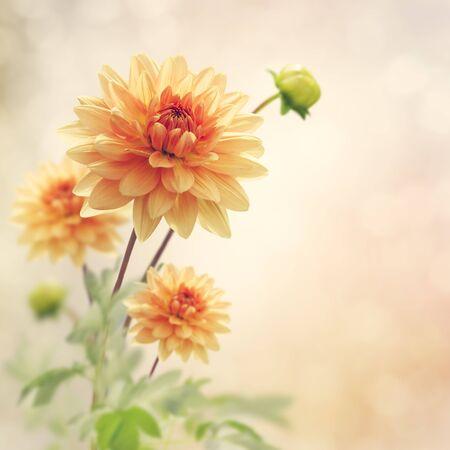 Dahlia Flowers Bloom in The Garden Stok Fotoğraf