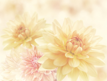 Dahlia Flowers Close Up for Background 免版税图像
