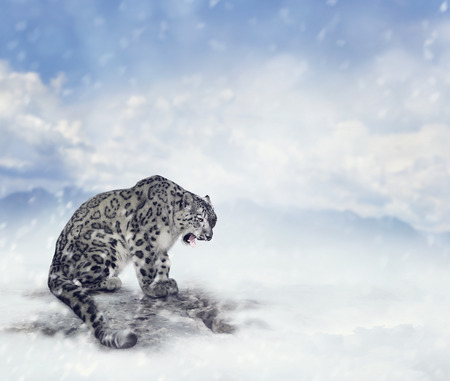 snow leopard: Snow Leopard Sitting on the Rock