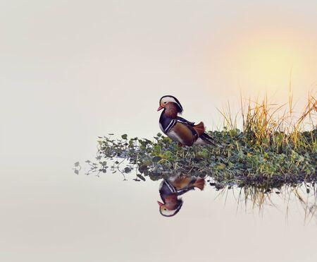 Male Mandarin Duck on a Lake Stock Photo