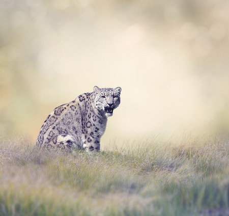 snow leopard: Snow Leopard in the Grass