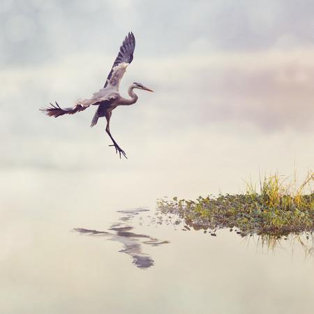 blue heron: Great Blue Heron In Flight in Florida Wetlands