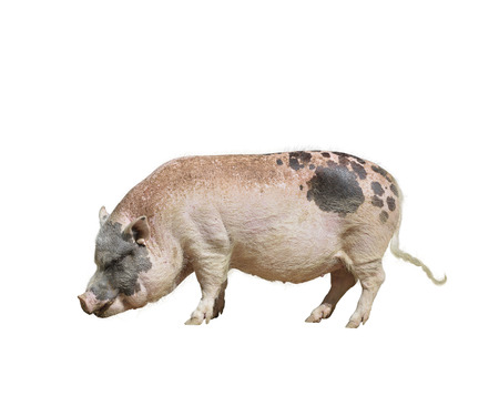 spotted: Farm Pink and Black Pig isolated on white background