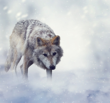 gray wolf: Gray Wolf Walking on the Snow Stock Photo