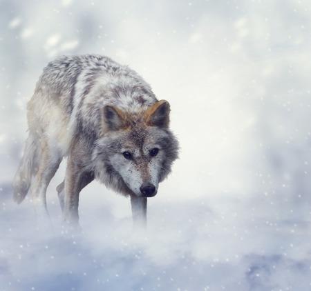 lobo feroz: Lobo gris que camina en la nieve