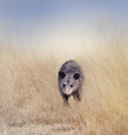 possum: Opossum Walking in Tall Grass