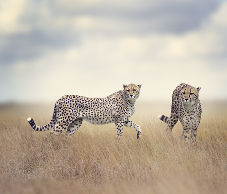 cheetahs: Two Cheetahs Walking In Tall Grass Stock Photo