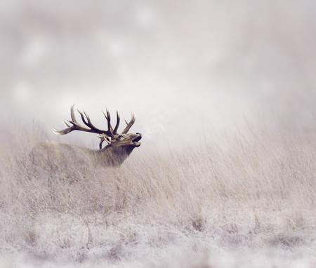 elk: Elk Walking in Tall Grass