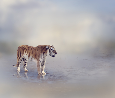predator: Tiger Near Water with Reflection Stock Photo