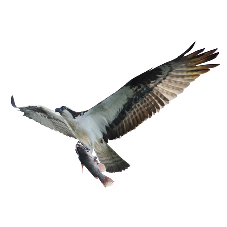 osprey: Digital Painting of Osprey with Fish in Flight,isolated on white Stock Photo