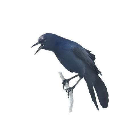 perching: Digital Painting of Perching Blackbird