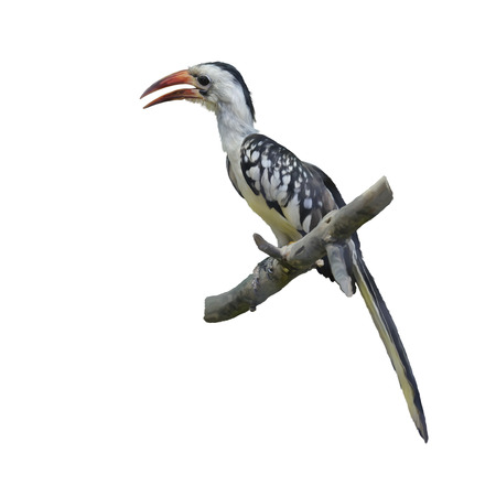 hornbill: Digital Painting of Western Red-billed Hornbill