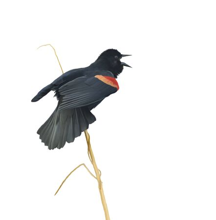 Digital Painting of Male Red-winged Blackbird on White Background