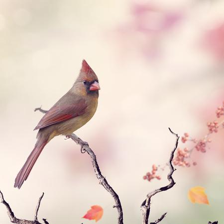 à  à     à  à    à  à female: El cardenal Norte femenino (cardinalis) se encarama