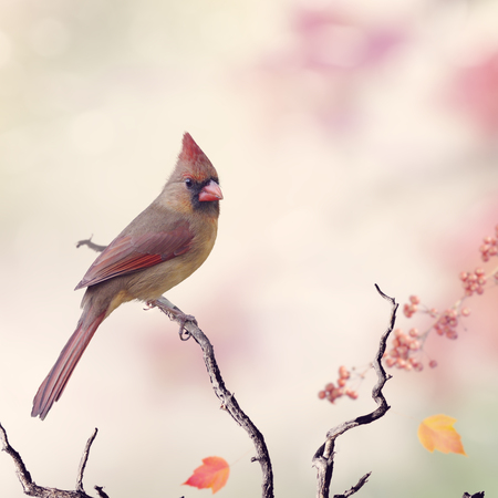bird: Northern Cardinal Female (Cardinalis cardinalis) Perching Stock Photo