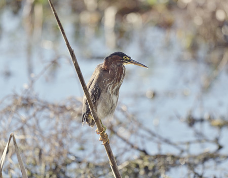 wetlands: Tricolored Heron Perching in Florida Wetlands