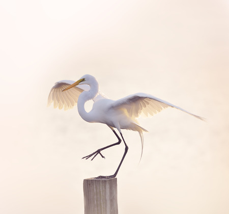 spreaded: Snowy Egret with Spreaded Wings