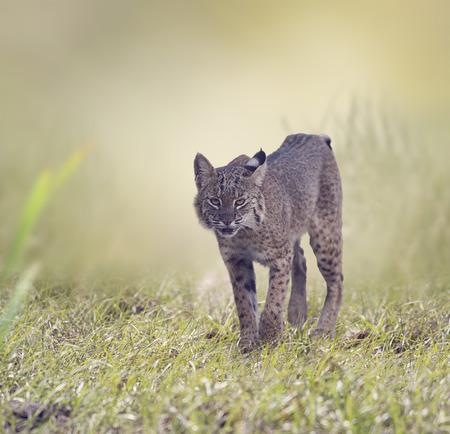 lince rojo: Caminar lince salvaje en humedales de Florida