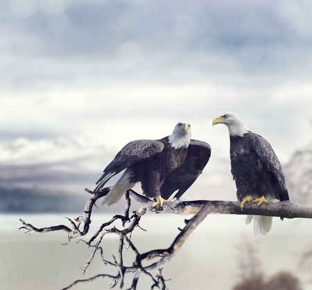 a large bird of prey: Two American Bald Eagles Perching