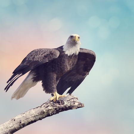 A Bald Eagle Taking off